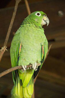 Lora, Parrot, Perico, Green, Ave, Bird, Fauna, Peak