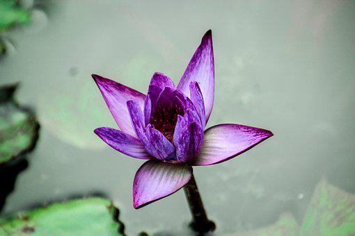 Lotus, Nature, Flowers, Pink, Flower, Open