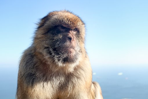 Macaque, Monkey, Gibraltar, Rock, Places Of Interest