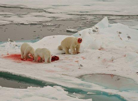 Polar Bears, Feeding, Arctic Circle
