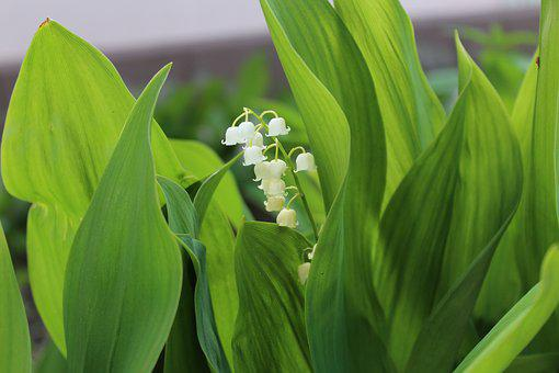 Lily Of The Valley, Green Leaves Wide, Spring, Plant