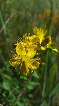 St John's Wort, Hypercium, Wild Plant, Flower, Plant