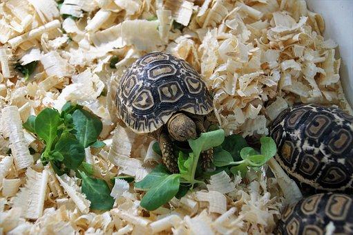 Cub, Turtle, Little Turtle, Sale, Vivarium, The Exotic