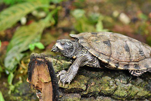 Water Turtle, Turtle, Reptile, Tortoise Shell, Armored