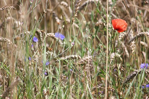 Field Flowers, Summer, Cornflower, Poppy, Wheat, Spike