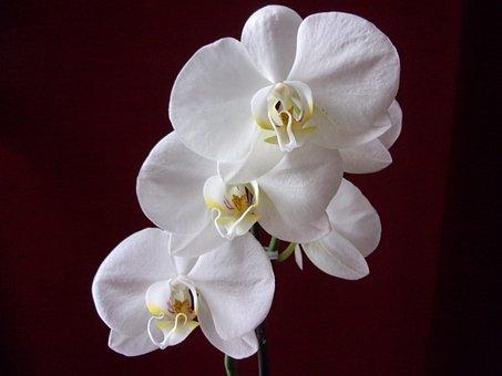 Orchid, Flower, Plants, Nature, White, Decorative