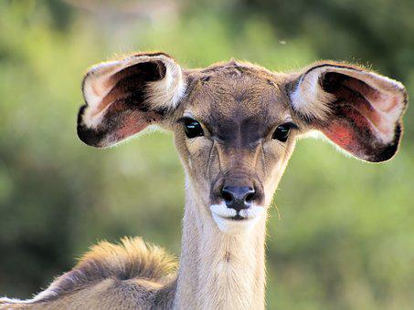 Animal, Kudu, Young, Face, Ears, Cute, Wildlife, Africa