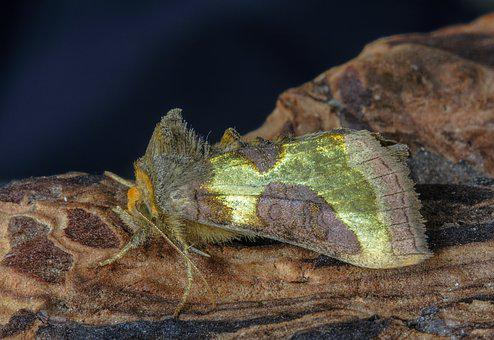 Moth, Burnished Brass, Wings, Insect, Nature, Summer