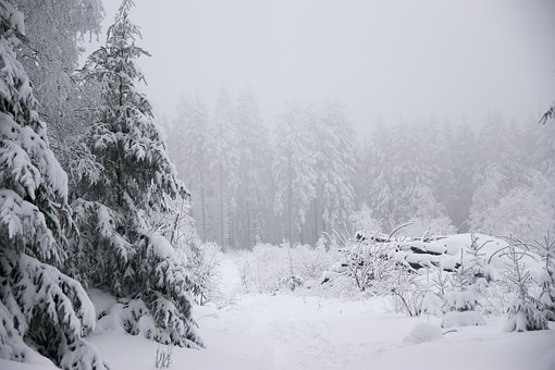 Winter, Snow, Fir Tree, Forest, Mountain