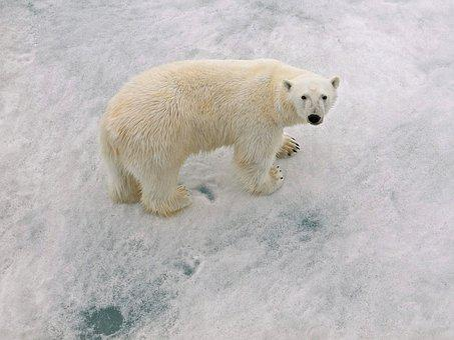 Polar Bear Male, Arctic Circle, With Paw Prints
