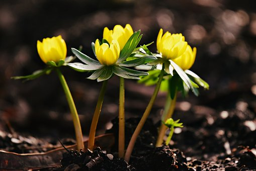 Winter Aconite, Flower, Plant, Yellow Blossom