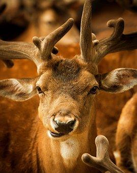 Hirsch, Animal, Male, Animal World, Red Deer, Antler