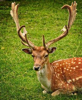Antler, Antler Carrier, Fallow Deer, Hirsch, Dama Dama