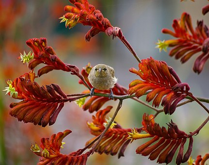 Brown Honeyeater, Bird, Small, Kangaroo Paw Flowers