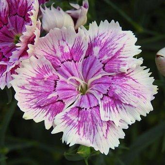 Sweet William, Blossom, Bloom, Flower, Carnation, Flora