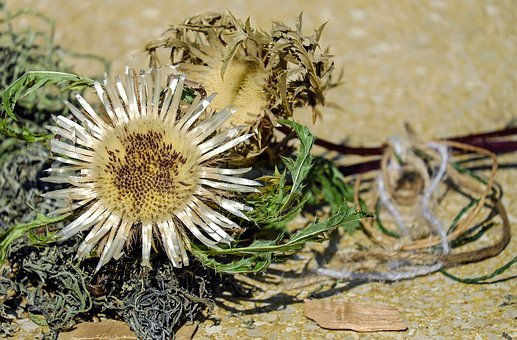 Thistle, Silver Thistle, Flower, Blossom, Bloom, Silver