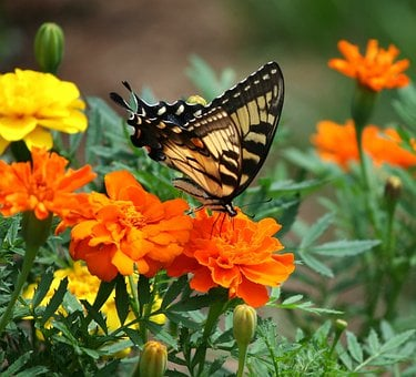 Old World Swallowtail, Butterfly, Papilio Machaon