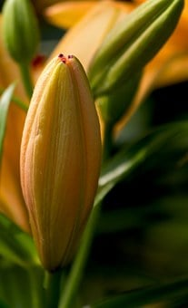Lily, Flower, Daylily, Flowers, Plants, Macro, Close-up