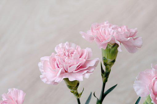 Cloves, Flowers, Pink, Carnation Pink, Pink Flowers