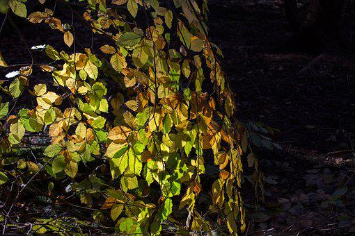 Canopy, Forest, Autumn, Beech, Leaves, Deciduous Tree