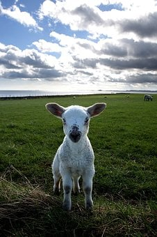 Lamb, Field, Holy Island, Small, Pasture