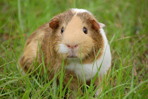 Guinea Pig, Cavy, Pet, Guinea, Rodent, Mammal, Whiskers