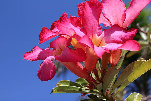 Impala Lily, Lily, Chalice, Flower, Pink Flower, Petal