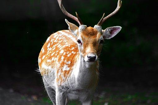 Deer, Woods, Forest, Wild, Animal, Wildlife, Nature