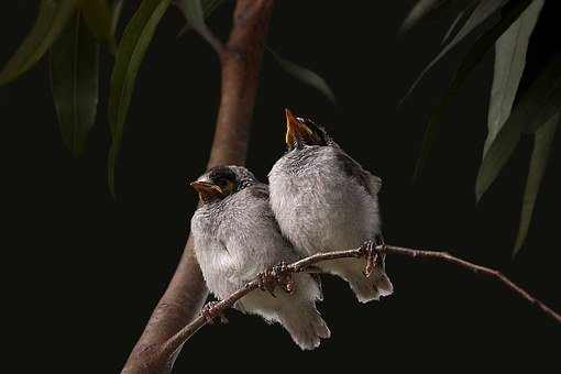 Noisy Miner, Babies, Grey, Feather