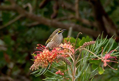 Yellow Faced Honeyeater, Bird, Honeyeater, Olive