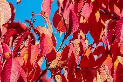Ornamental Tree, Scarlet Cherry, Prunus Sargentii