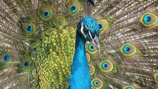 Peacock, Bird, Feather, Close Up, Color, Iridescent