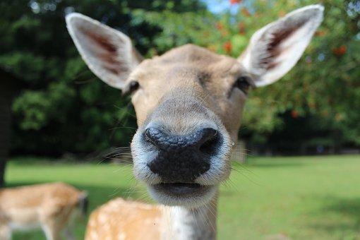 Fallow Deer, Reindeer, Roe Deer, Animal, Wild