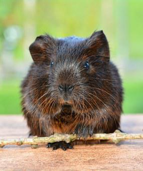 Gold Agouti, Guinea Pig, Pet, Nager, Rodent, Animal