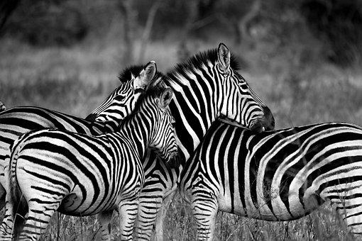 Zebra, Wildlife, Africa, Animal, Photography, Standing