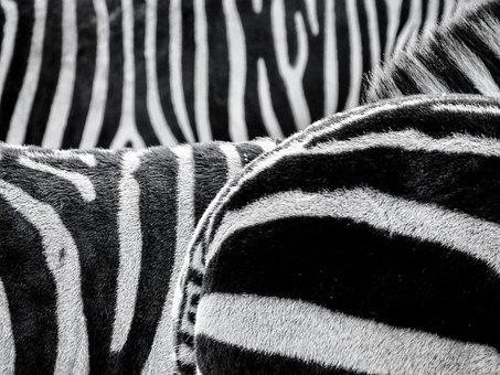 Zebra, Crosswalk, Animals, Black And White, Striped