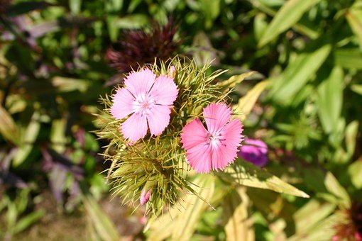 Sweet William, Flower, Summer, Flora, Blossom, Bloom