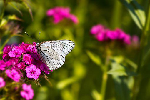 Tree-white Ling, Butterfly, White Ling, Insect