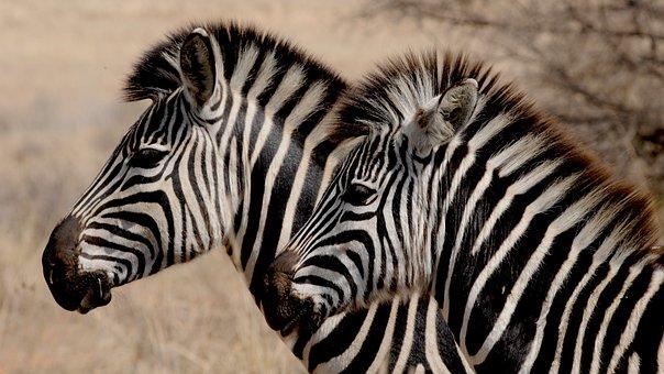 Zebra, Wild Animal, Africa, Stripes, Drawing