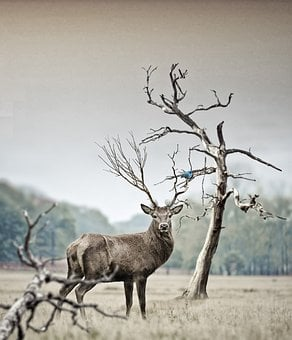 Deer, Nature, Animal, Wild, Red Deer, Animal Portrait