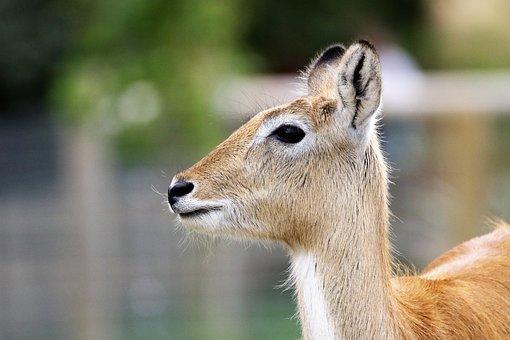 Deer, Antelope, Nature, Wild, Wildlife, Mammal, Impala