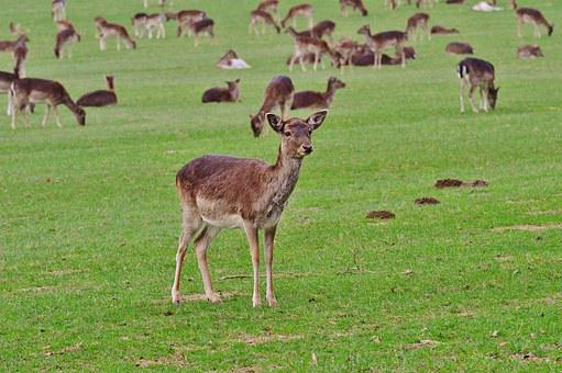 Wild, Flock, Wildpark Poing, Nature, Young-stag