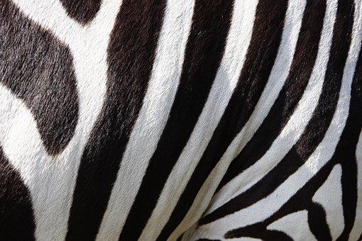 Animals, Zebra, Zebra Crossing, Stripes