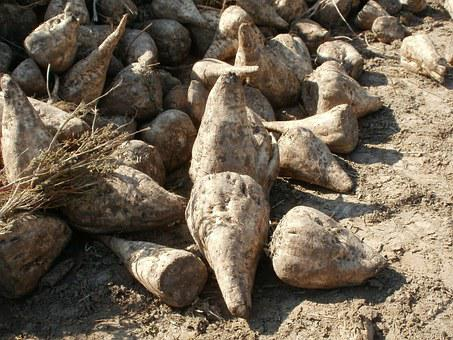 Sugar Beet, Harvest, Agriculture, Crop, Field, Nature