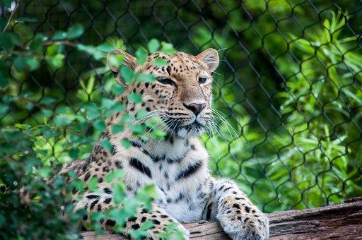 Big Cats, Zoo, Animal, Cat, Big, Mammal, Nature