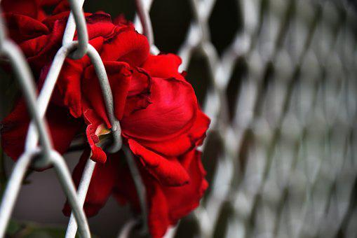 Flowers, Fence, Color Separation, Rose, Red