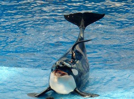 Whale, Mammal, Huge, Big, Creature, Killer Whale