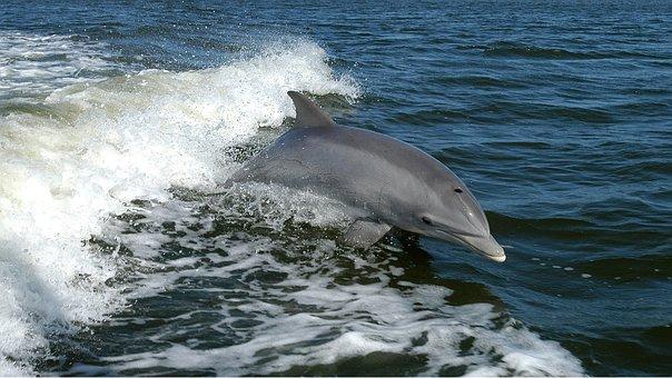 Dolphin, Ocean, Waves, Jump, Tursiops Truncatus