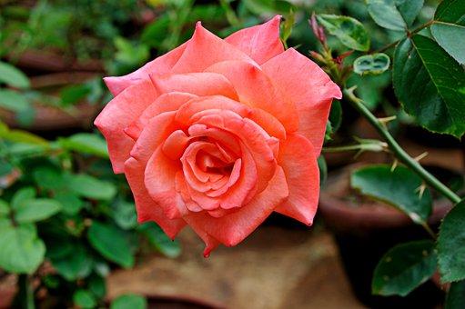 Rose, Pinl Petals, Flowers, Orange Colour, Floral