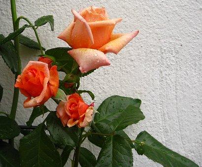 Rose, Flowers, Orange Rose, Close, Fragrance, Romance
